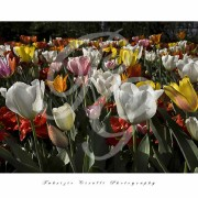 Fabrizio Cirulli - Tulipani